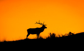 bull-elk-photo-silhouette